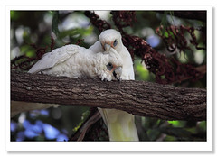 Little Corella-9515 (Barbara J H) Tags: australia qld cockatoo sunshinecoast australianwildlife corella maroochydore littlecorella australiannativebird cacatuasanguinea birdsofaustralia barbarajh