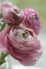 (*Twinkel*'s photostream) Tags: flowers flower buttercup bloemen buttercups ranonkels sooc