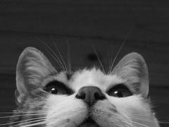 Ensimismada (Alejandro Emmanuel) Tags: blancoynegro gato pensativo cutecat pensar ensimismado pensativa ensimismada gatoenblancoynegro