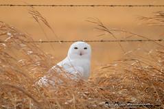 Snowy in the Grass DSC_2639 (Ron Kube Photography) Tags: canada bird nature birds fauna nikon snowy raptor alberta owl ornithology owls birdofprey snowyowl southernalberta buboscandiacus d300s globalbirdtrekkers ronaldok nikond300s ronkubephotography