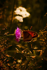 Meadow Brown, Maniola jurtina (newfilm.dk) Tags: summer sun flower color sol nature colors animals backlight forest butterfly nikon sweden natur flowering sverige meadowbrown sommerfugl skov maniolajurtina naturescenery nikond200 grsrandje cloverblossom graesrandoeje
