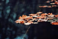 float (ewitsoe) Tags: park morning autumn lake reflection fall water leaves season 50mm nikon europe day bokeh floating poland explore frontpage tone d80 swarzedz