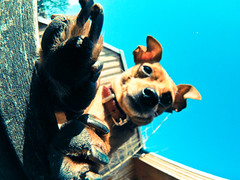 spring fever (I) (redstarpictures) Tags: blue sky dog brown spring klein small himmel fisheye hund paws braun blau pinscher frhling pfoten joschi germanpinscher fischauge samyang tatzen rehpinscher zwergpinscher deutscherpinscher miniaturpinscher