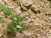 Achillea barrelieri ssp. oxyloba (Forest (GKweb.it)) Tags: canon achillea rosengarten sx20 catinaccio welschnofen novalevante canonsx20is canonsx20 achilleabarrelieri achilleabarrelierioxyloba