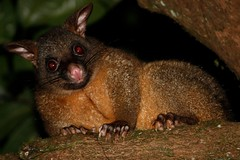 _MG_1725 (daveo12) Tags: athertontableland mthypipamee commonbrushtail