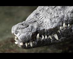 More Zoo Portraits (cowgirl_dk) Tags: animals copenhagen denmark zoo reptile teeth olympus crocodile croc danmark kbenhavn carnivore dyr tnder copenhagenzoo krokodille rovdyr zd70300mm e620 zuikodigital70300mm cphtur20120303 cowgirldk