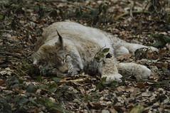 Nap time (PimGMX) Tags: cat los feline nap sleep bigcat rest predator captive lynx luchs roofdier anholterschweiz raubtier eurasianlynx lynxlynx eurasischerluchs euraziatischelynx flickrbigcats eurasiatieserooikat