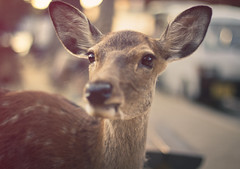 (skidu) Tags: park japan canon eos 50mm f14 deer nara sika 550d