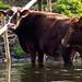 Lingen - Durstige Rinder-1142.jpg