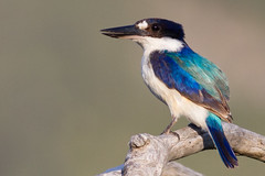 Forest Kingfisher (petefeats) Tags: nature birds australia queensland halcyonidae forestkingfisher coraciiformes todiramphusmacleayii kinkawetlands