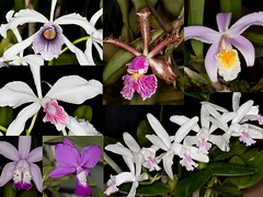Some more Cattleya from Herrenhausen (Pterodactylus69) Tags: orchid flower fleur gardens garden botanical flor orchidaceae orquidea botanic orchidee blte garten botanischer herrenhausen grten berggarten herrenhuser