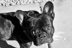 03-14-12 (871) Who? (Lainey1) Tags: bw dog eyes sony canine bulldog frenchie frenchbulldog 365 pup ozzy thirdyear frogdog 871 lainey1 zendog nex5 sonynex5 elainedudzinski 031412 871oz ozzythefrenchie