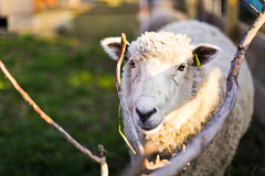 :) (333Bracket) Tags: london sheep farm fullframe ef50mm14 333bracket canon5dmk2