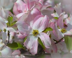 Dogwood (MissTessmacher) Tags: flower spring nikon indiana elkhart dogwood d90