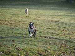 Hunde spielen 28.03.2012