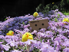 Spring is here (3 Minutes After Dawn) Tags: flowers baby flower green chickens chicken nature beautiful grass sunshine weather rose yellow easter outside warm pretty purple chicks ran missa beatiful danbo danboard phloxs