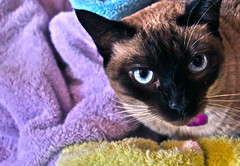 Sassy and the purple towel (NoeliaSanchez) Tags: cat purple sassy towel puffy