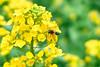 ちゅうちゅう(´ε` ) (punipuki) Tags: street city flower nature japan spring sigma kanagawa 神奈川 春 菜の花 floralappreciation dp2s