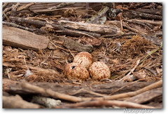Osprey Egg - mid-hatch