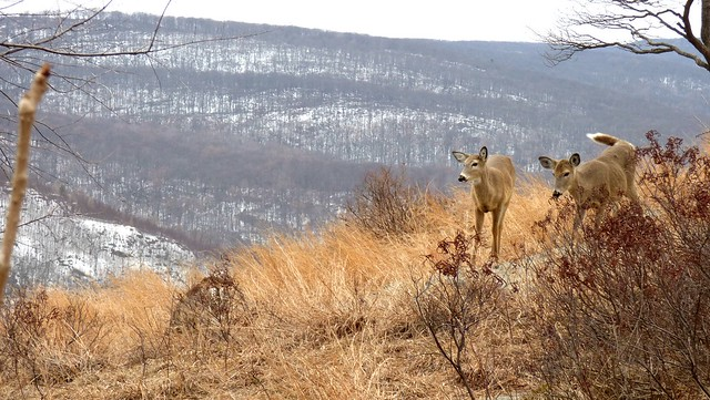 Deer on the NW side of Bear Mtn