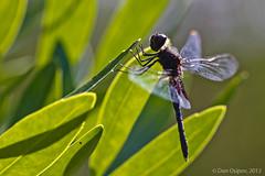 Martha's Pennant (danospv) Tags: macro nature closeup canon bug insect dragonfly perch entomology pennant odonata