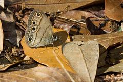 Viola's Little Wood Satyr (Megisto cymela viola), Big Bend Wildllife Management Area, Dixie County (kmalone98) Tags: butterflies satyrs brushfoots violaslittlewoodsatyr