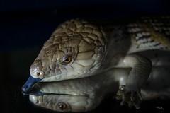 Saka's Tongue (H.B. Mejia) Tags: lighting blue portrait pet reflection animal tongue spectacular australian dramatic lizard stunning mirrorimage bluetongue skink moodlighting tastebuds animalportraiture northernbluetonguedskink stunningphotography spectacularphotography