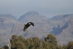 Hermosa ave que nos visitó a nuestra Charca de Maspalomas y no sé su nombre