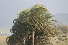 La fuerza del viento que despeina nuestras hermosas palmeras canraias phoenix canariensis