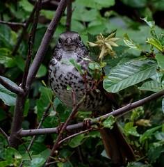 Thick-billed Fox Sparrow--Passerella iliaca (Polioptila caerulea) Tags: california bird sparrow passerella nevadacounty foxsparrow passerellailiaca thickbilledfoxsparrow fosp nevadacountybreedingbirdatlas rossrellescamp nbloomfield