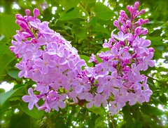 Lovesome Lilac (Pufalump) Tags: pink light summer two color colour macro tree green love nature floral leaves garden petals focus perfume dof purple blossom sweet pov sony details lilac hues smell tones