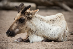 2016-05-21-19h03m14.BL7R6242 (A.J. Haverkamp) Tags: amsterdam reindeer zoo thenetherlands artis dierentuin rendier rangifertarandus httpwwwartisnl pobrhenenthenetherlands canonef100400mmf4556lisiiusmlens