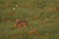 Dandelion For Breakfast (Derbyshire Harrier) Tags: dawn spring derbyshire peakdistrict dandelion dew grassland grazing 2016 brownhare peakpark