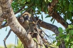 SueafrikaN (Lukas P Schmidt) Tags: monkey nationalpark ape krugerpark affe
