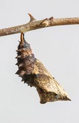 LT (Jeaunse23) Tags: macro butterfly chrysalis pupa nymphalidae largetortoiseshell