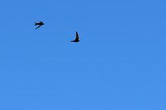 Common swifts (Apus apus) (kalakeli) Tags: portugal birds may mai lissabon vögel 2016 apusapus commonswift mauersegler kisbon