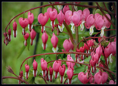 Fridays Flower Power (karin_b1966) Tags: plant flower nature garden blossom natur pflanze blume blte garten 2016 trnendesherz yourbestoftoday