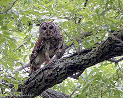 Found my very first owl in the wild. (heackersgirl) Tags: bird wildlife owl birdofprey barred barredowl