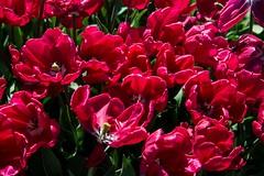 DSC_3687 (Copy) (pandjt) Tags: ca flowers canada bc britishcolumbia tulip abbotsford tulipfestival abbotsfordtulipfestival