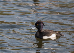 Nice tuft (Mibby23) Tags: bird nature canon river duck contemporary wildlife sigma tufted bakewell wye 70d 150600mm