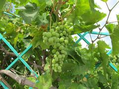 Oooh! I could crush a grape! (pefkosmad) Tags: vacation holiday plant june garden hellas vine pinkfloyd greece grapes villa greekislands pefkos rhodes 2016 dodecanese pefki pefkoi villaanamaria