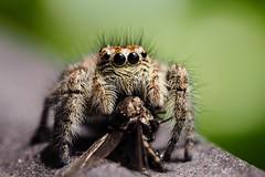 Jumping Spider (sramses177) Tags: macro nature animals spider olympus serene spinne 60mm makro jumpingspider omd araigne salticidae springspinne