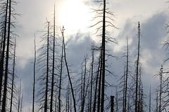 jasper june 2016 (vipermikey) Tags: trees canada rockies jasper burnt alberta forestfire jaspernationalpark medicinelake