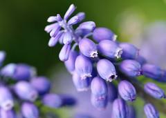 Purple (Karen_Chappell) Tags: flower macro green nature floral garden spring purple bokeh pastel botanicalgardens hyacinth grapehyacinth canonef100mmf28usmmacro