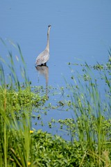 Blue on Blue (brev99) Tags: blue green bird water pond ngc foliage greatblueheron d7100 nikviveza tamron70300vc highqualityanimals