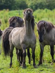 P6190147 (Rebecca_Wilton) Tags: summer horse netherlands europe wildlife nederland olympus paard em1 2016 oostvaarderplassen konikhorse zuikodigital50200mm