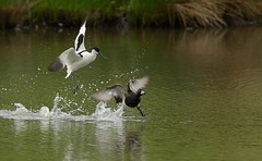 Avocet chasing tufted duck (ftm599) Tags: wild lake bird nature birds flying duck action wildlife ducks running chasing bif tuftedduck avocet washingtonwetlands