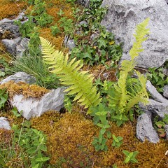 Flora of the Burren 12 (Michael Foley Photography) Tags: county ireland plants ice flora mediterranean clare glacier alpine age limestone burren clints artic climate coclare galwaybay temperate grikes grykes