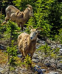 female bighorn sheep - sulphur mtn, banf NP, canada (AB) 2 (Russell Scott Images) Tags: canada mountains rocky ab canadian alberta banff banffnationalpark bighornsheepoviscanadensis