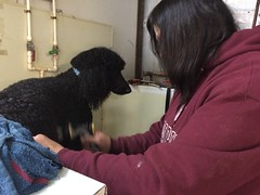 File Apr 11, 12 45 50 PM (A Place for Paws) Tags: bath poodle dee percy